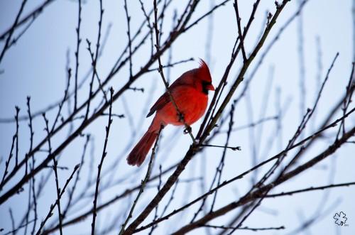 DSC_2212 12--27-12 cardinal-tree