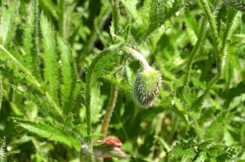 DSC_6303 087 6-12-13 poppy buds