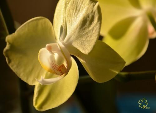 DSC_6396 040 2-18-13 orchid close