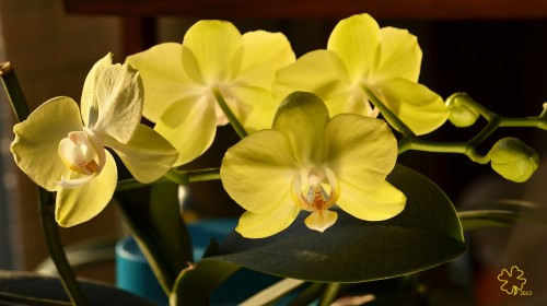DSC_6410 040 2-18-13 orchid stem