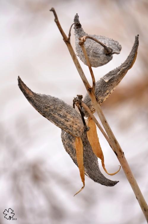 DSC_8072 045 3-6-13 milkweed