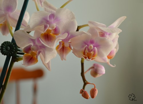 DSC_9630 054 3-25-13 mini orchid