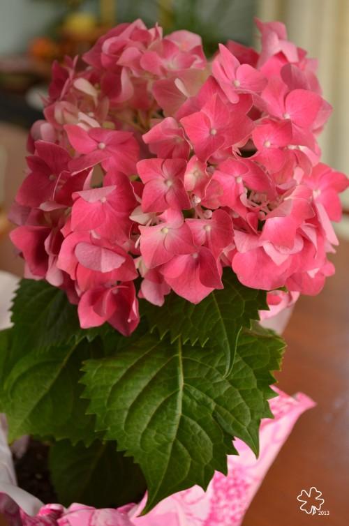 DSC_9658 054 3-24-13 pink hydragia