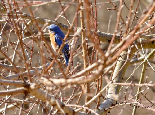 DSC_0804 057 3-30-13 bluebird-tree