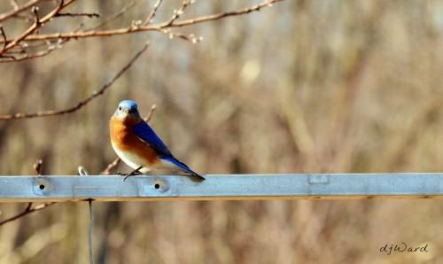 DSC_0836 057 3-30-13 bluebird-pole
