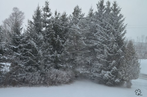 Evergreens covered in snow