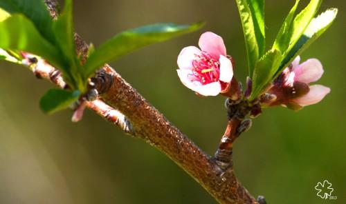 DSC_3740 074 5-9-13 peach blossoms