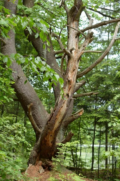 DSC_5667 084 5-4-13 white pine
