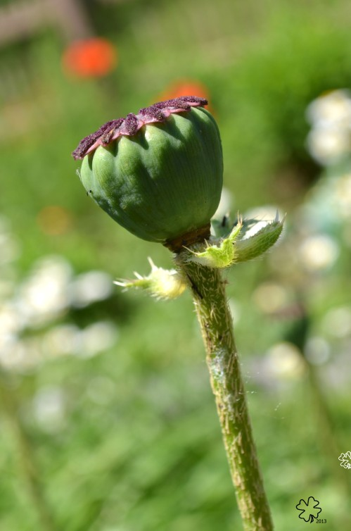 DSC_6249 087 6-12-13 poppy seed pod