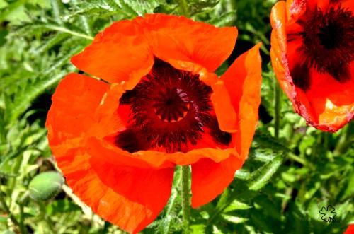 DSC_6269 087 6-12-13 poppies