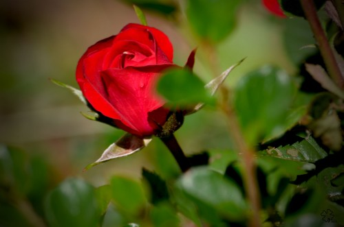 Single red mini-rose