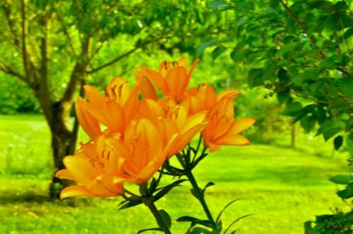 Orange lilies bask in sun.