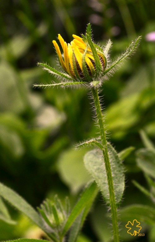 Brown-eyed Susan in Bud