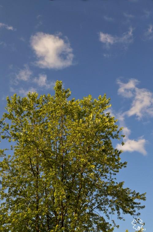 DSC_8218 0998 7-1-13 sun on maple tree