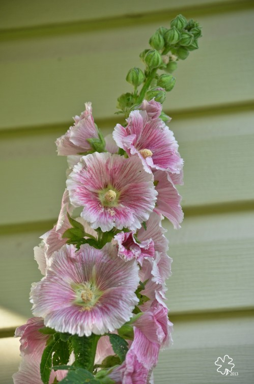 A Tower of Hollyhocks