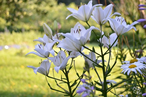White Lilies in late day sun.