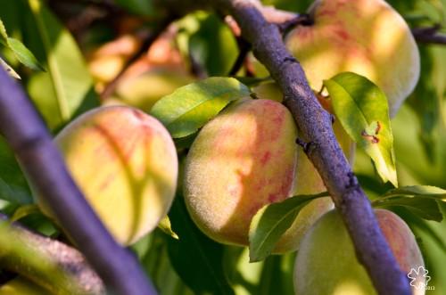 DSC_8850 103 7-28-13 peaches on branch