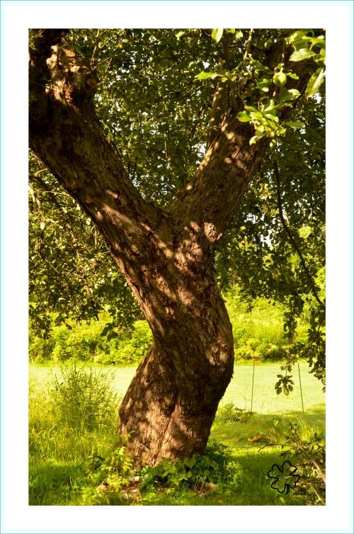 Dappled sunlight through old apple tree