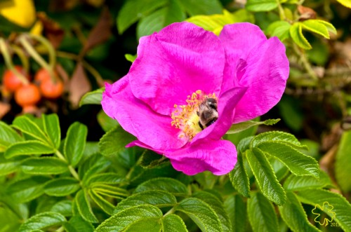 Rose Rugosa with ripening rose hips and bee