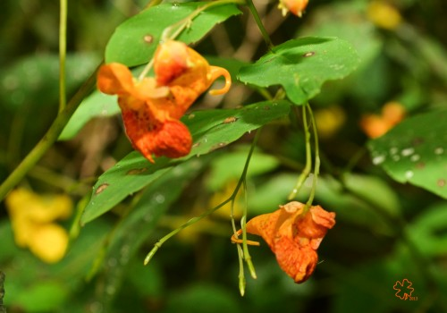 Dripping wet jewelweed
