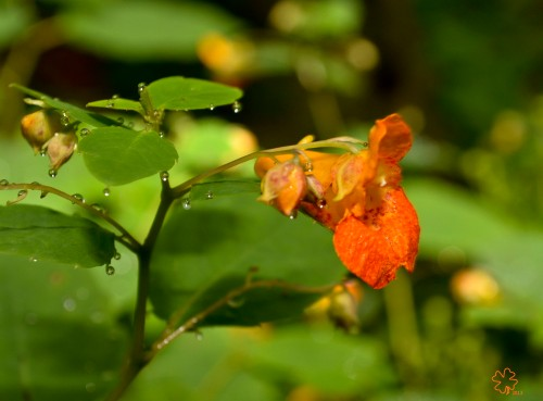 Orange-speckled jewelweed, just after rain