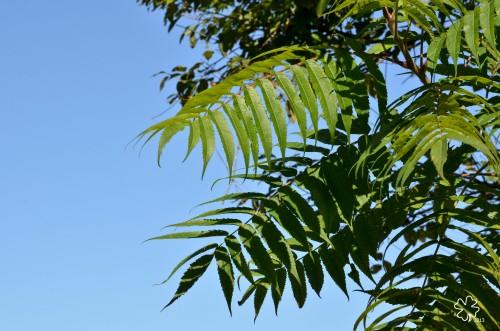 Sumac branches sway in gentle breeze