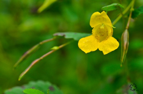 "Yellow Jewelweed, and its ""touch-me-not seed pods"
