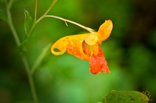 Orange-speckled Jewelweed