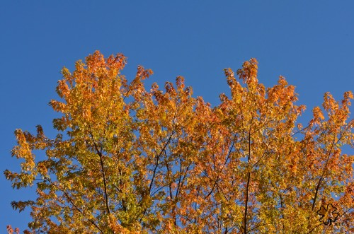 Clear blue sky with colorful silver maple's top/leaves