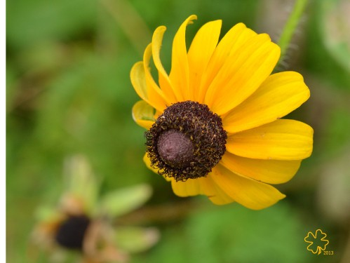 Last of my Brown-Eyed-Susans