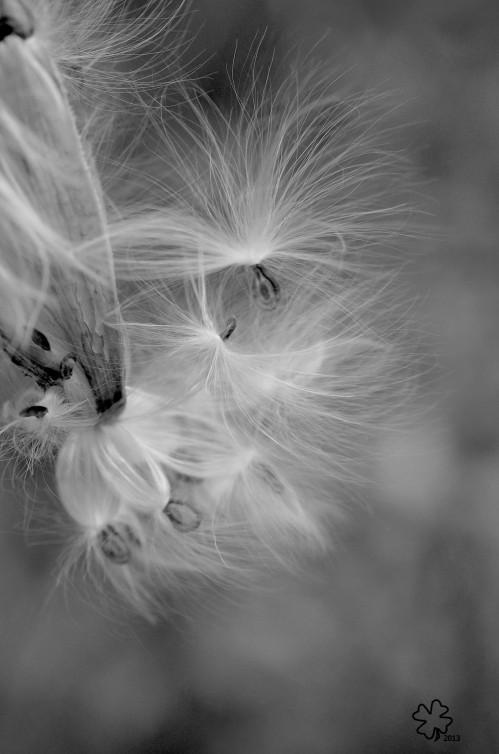DSC_2973 124 10-19-13 milkweed fluff b-w2