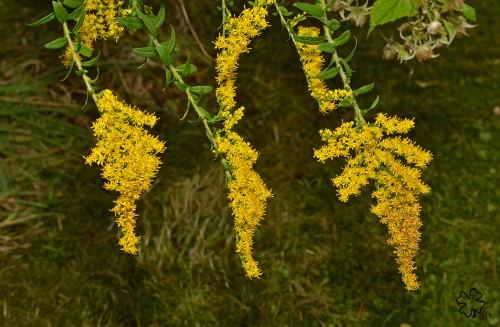 Patterns in goldenrod