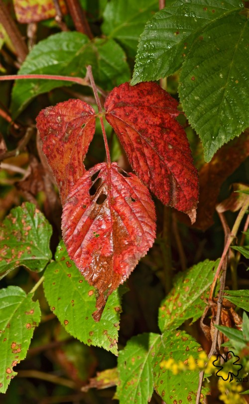 A splash of red among the sumac leaves