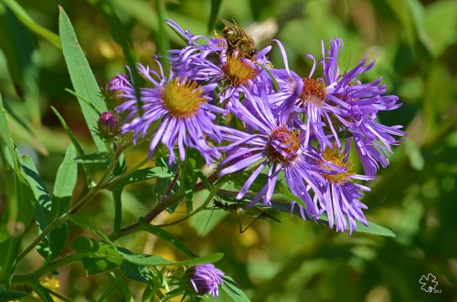 "Asters and a ""friend"""