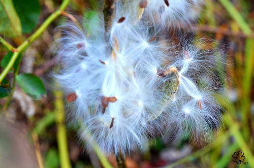 Milkweed pods are exploding, spreading seeds on the wind