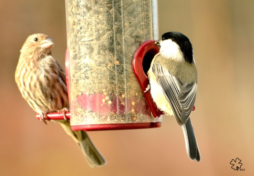 House finch and chickadee sharing stations at the feeder