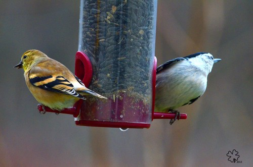 Sharing, goldfinch and chickadee