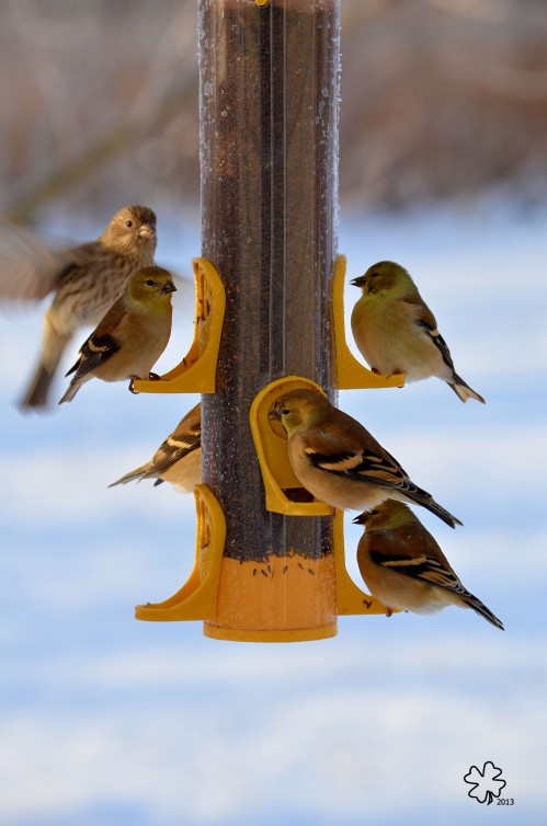 Finches feeding on Niger Seed