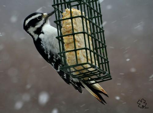 Woodpecker feeding in the Snow