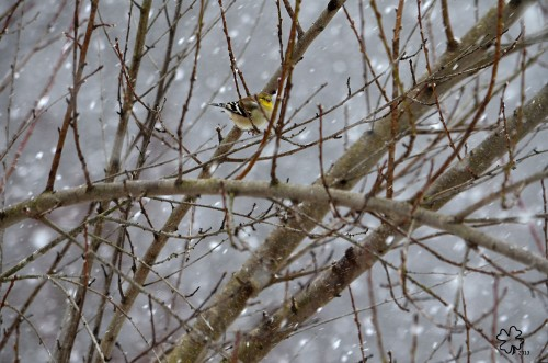 Goldfinches in the Snow