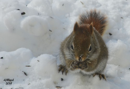 Red squirrel with morsel found in that hole in the snow.