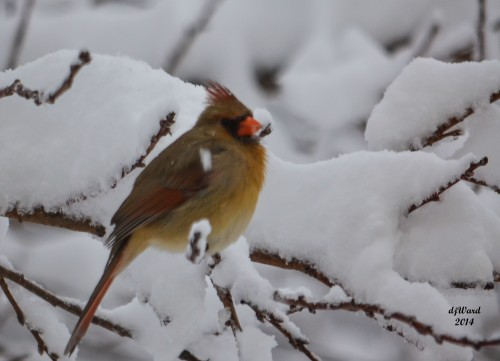 Female Cardinal on a Snowy Perch