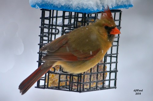 Cardinal at the Suet Feeder