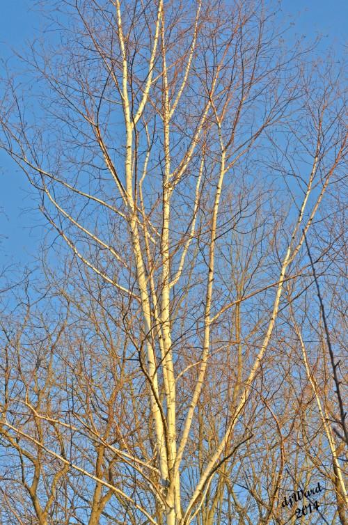 Sun Hits birch treetops