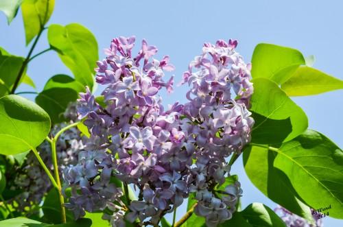 Lavendar Lilacs