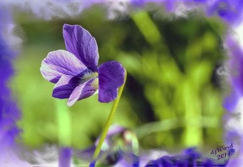 Garden Violets