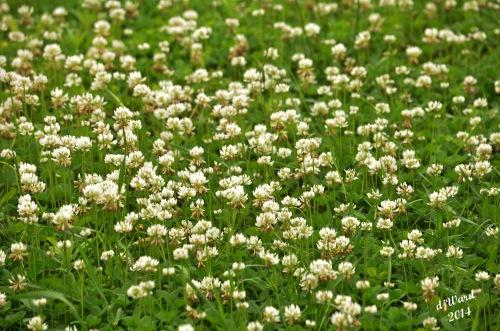 DSC_0067058 6-14-14 clover patch