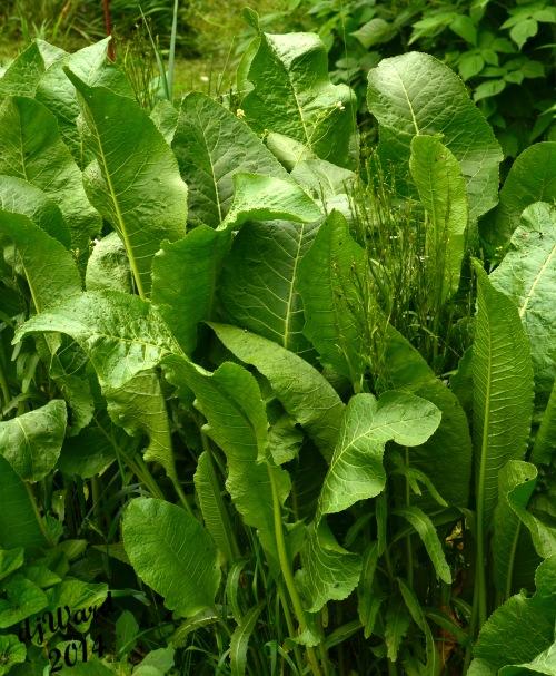 Group of Horseradish Leaves