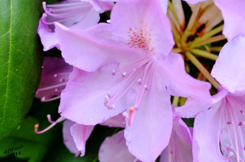 First of the Rhododendrons