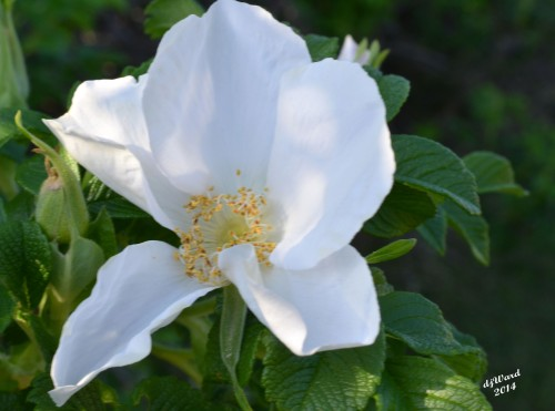 DSC_0754 054 6-1-14 white rose rugosa
